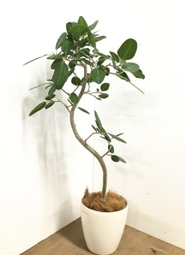観葉植物 【135cm】 フィカス ベンガレンシス 8号 #23141