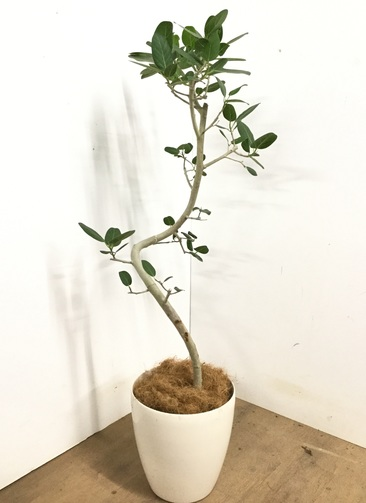 観葉植物 【130cm】 フィカス ベンガレンシス 8号 #23142