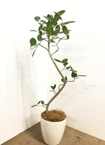 観葉植物 【145cm】 フィカス ベンガレンシス 8号 #23143