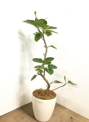 観葉植物 【125cm】 フィカス アルテシーマ 8号 #23146