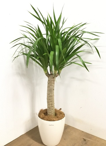 観葉植物 【135cm】 ドラセナ ドラコ 8号 #23147