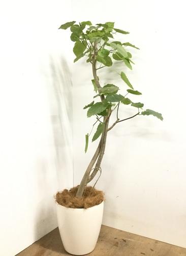 観葉植物 【170cm】 フィカス ウンベラータ 10号 #23157