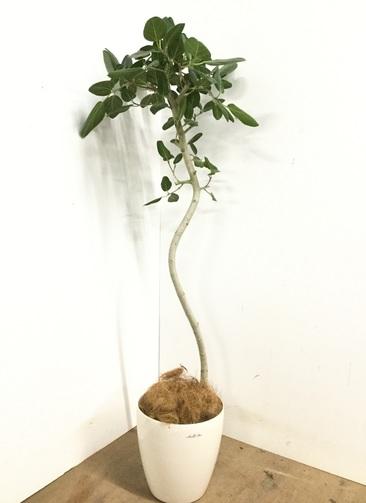 観葉植物 【155cm】 フィカス ベンガレンシス 8号 #23158