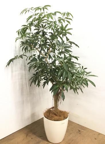 観葉植物 【160cm】シェフレラ 8号 #23173