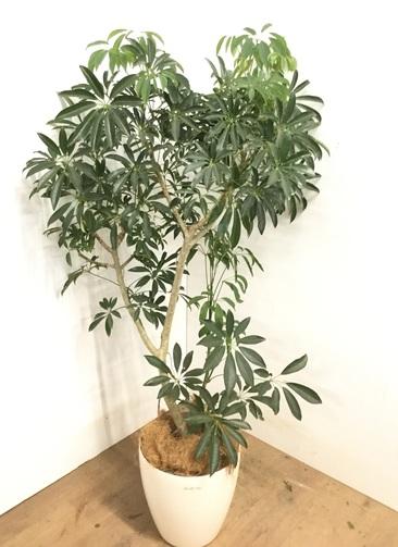 観葉植物 【145cm】シェフレラ 8号 #23174