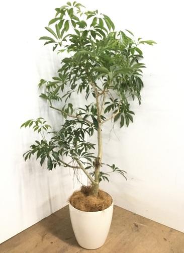 観葉植物 【150cm】シェフレラ 8号 #23175