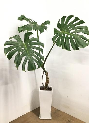 観葉植物 【145cm】 モンステラ 8号 #23176