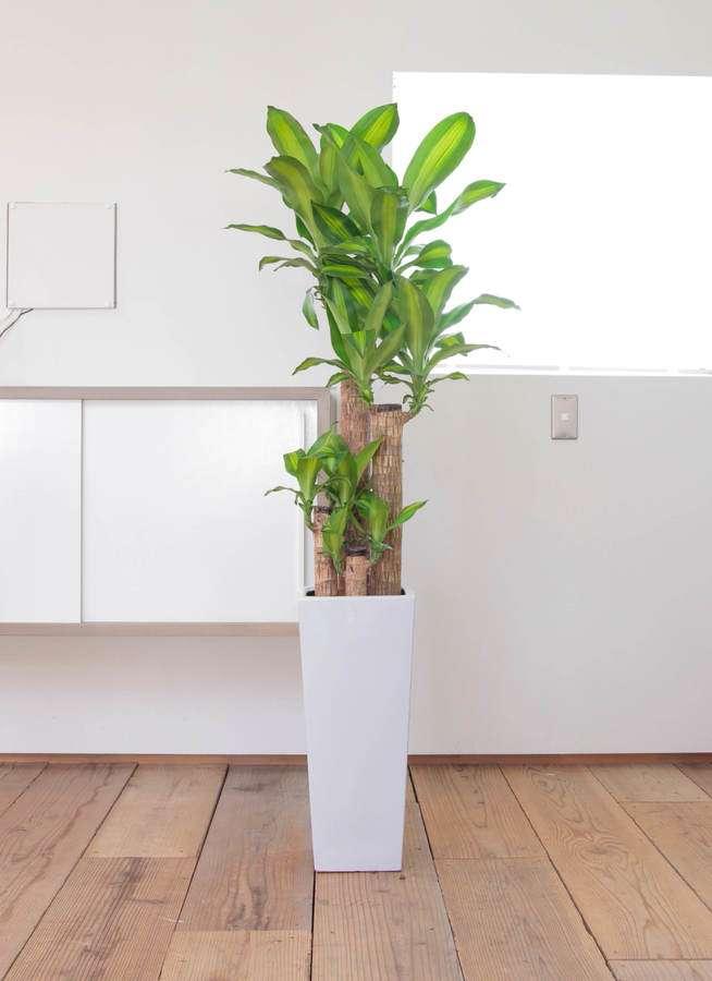 観葉植物 ドラセナ 幸福の木 8号 ノーマル 角高陶器
