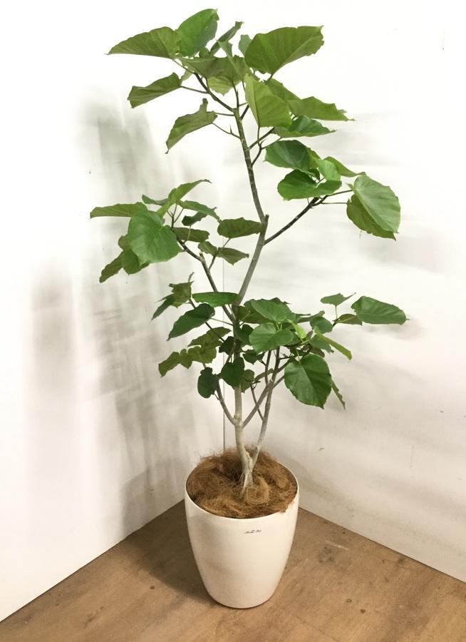 観葉植物 【170cm】 フィカス ウンベラータ 10号 #23193