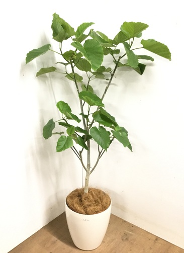 観葉植物 【170cm】 フィカス ウンベラータ 10号 #23197