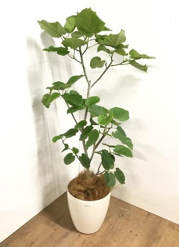 観葉植物 【170cm】 フィカス ウンベラータ 10号 #23198
