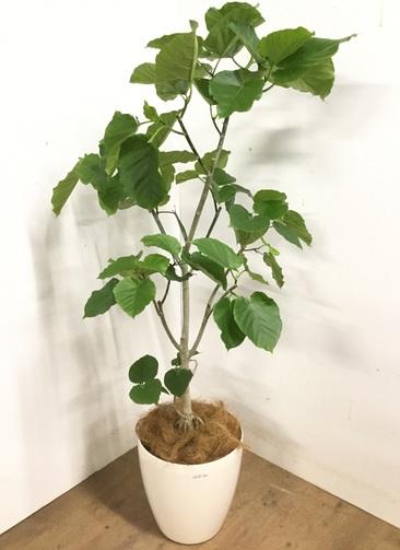 観葉植物 【170cm】 フィカス ウンベラータ 10号 #23199