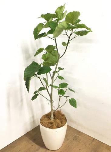 観葉植物 【170cm】 フィカス ウンベラータ 10号 #23201