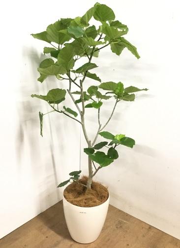 観葉植物 【170cm】 フィカス ウンベラータ 10号 #23202