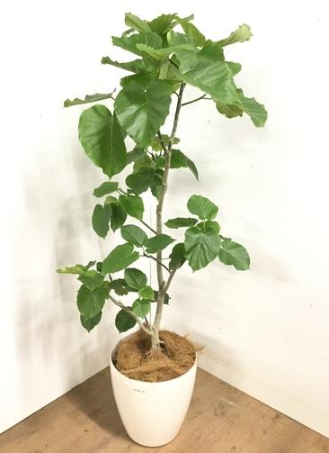 観葉植物 【170cm】 フィカス ウンベラータ 10号 #23203