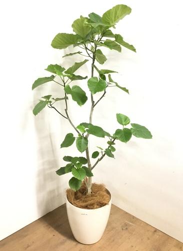 観葉植物 【170cm】 フィカス ウンベラータ 10号 #23204