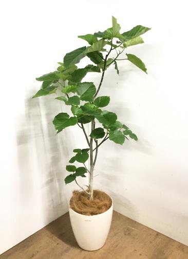 観葉植物 【175cm】 フィカス ウンベラータ 10号 #23206