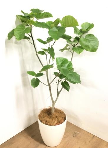 観葉植物 【165cm】 フィカス ウンベラータ 10号 #23207
