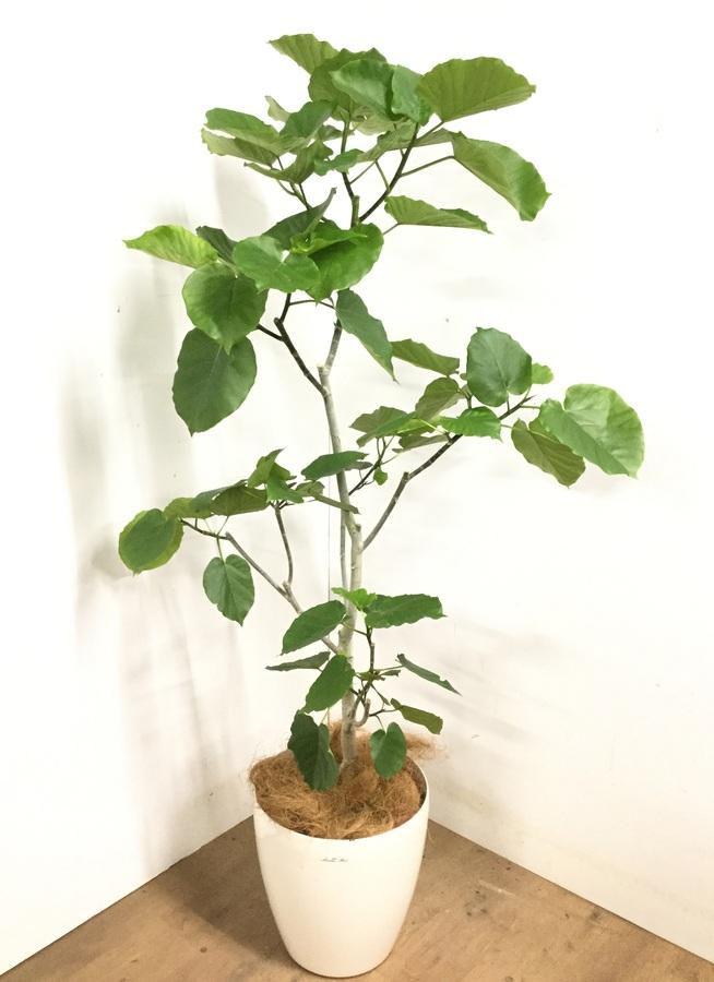 観葉植物 【175cm】 フィカス ウンベラータ 10号 #23209