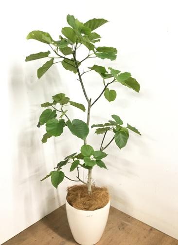 観葉植物 【170cm】 フィカス ウンベラータ 10号 #23210