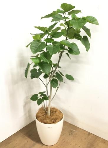 観葉植物 【170cm】 フィカス ウンベラータ 10号 #23211