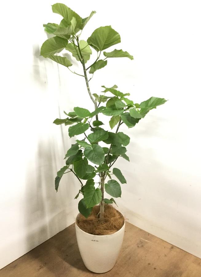 観葉植物 【175cm】 フィカス ウンベラータ 10号 #23215