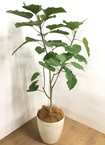 観葉植物 【165cm】 フィカス ウンベラータ 10号 #23216