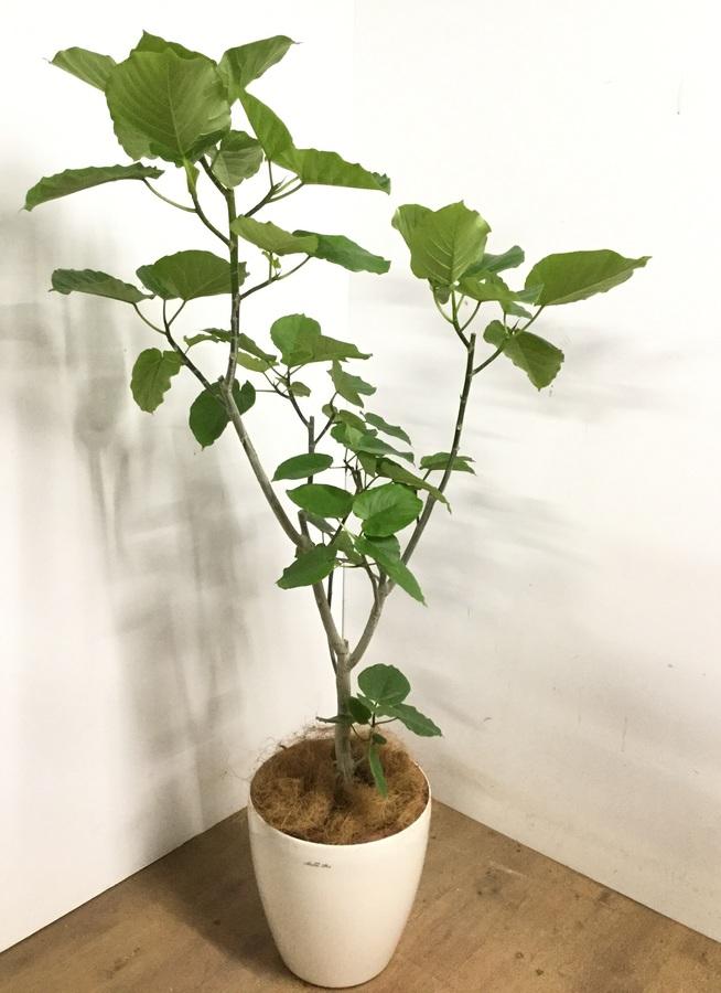 観葉植物 【170cm】 フィカス ウンベラータ 10号 #23217