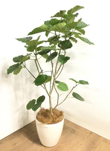 観葉植物 【170cm】 フィカス ウンベラータ 10号 #23218
