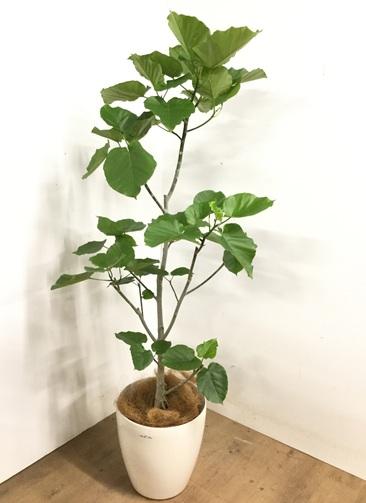 観葉植物 【175cm】 フィカス ウンベラータ 10号 #23221