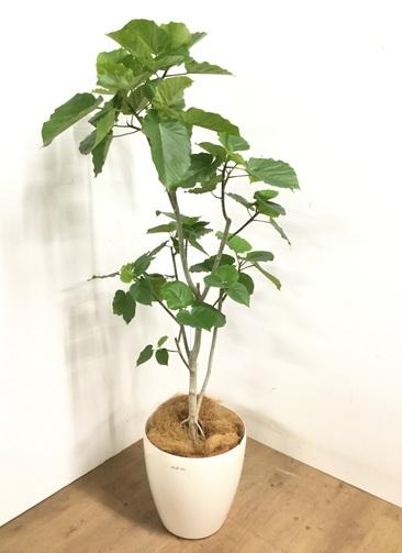 観葉植物 【170cm】 フィカス ウンベラータ 10号 #23222