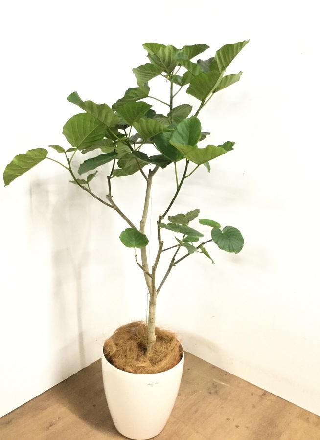 観葉植物 【165cm】 フィカス ウンベラータ 10号 #23223