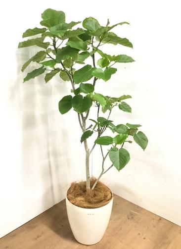 観葉植物 【165cm】 フィカス ウンベラータ 10号 #23224