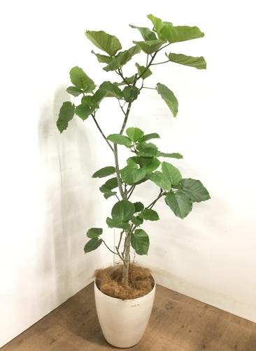 観葉植物 【175cm】 フィカス ウンベラータ 10号 #23226