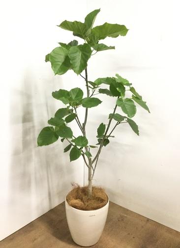 観葉植物 【175cm】 フィカス ウンベラータ 10号 #23228