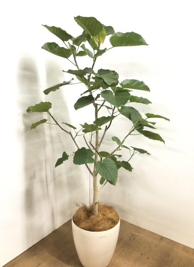 観葉植物 【175cm】 フィカス ウンベラータ 10号 #23229