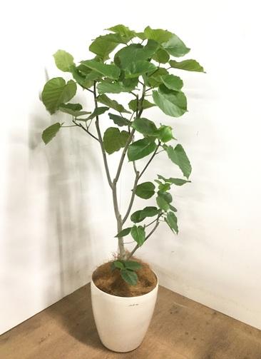 観葉植物 【160cm】 フィカス ウンベラータ 10号 #23230
