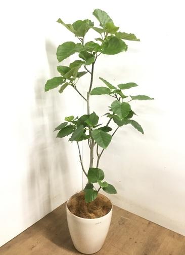 観葉植物 【175cm】 フィカス ウンベラータ 10号 #23232