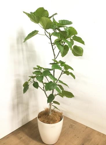 観葉植物 【175cm】 フィカス ウンベラータ 10号 #23235