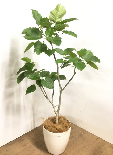 観葉植物 【175cm】 フィカス ウンベラータ 10号 #23236