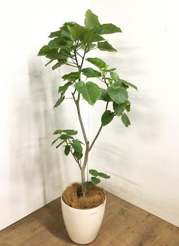 観葉植物 【175cm】 フィカス ウンベラータ 10号 #23238