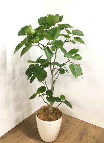 観葉植物 【165cm】 フィカス ウンベラータ 10号 #23240