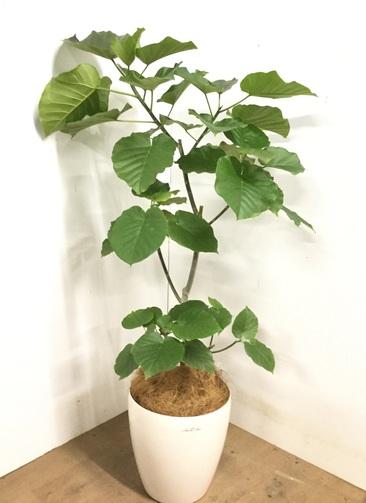 観葉植物 【135cm】 フィカス ウンベラータ 8号 #23243