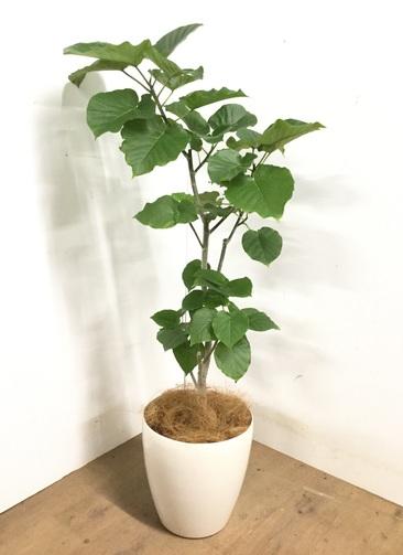 観葉植物 【130cm】 フィカス ウンベラータ 8号 #23244