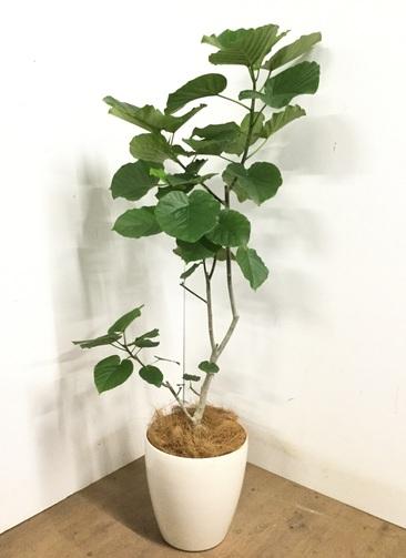 観葉植物 【145cm】 フィカス ウンベラータ 8号 #23245