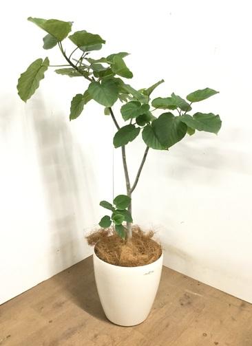観葉植物 【115cm】 フィカス ウンベラータ 8号 #23250