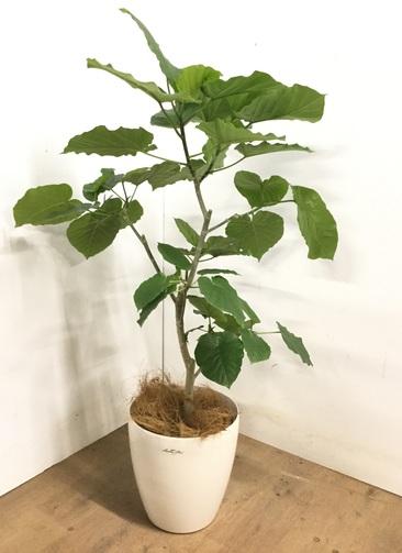 観葉植物 【120cm】 フィカス ウンベラータ 8号 #23251