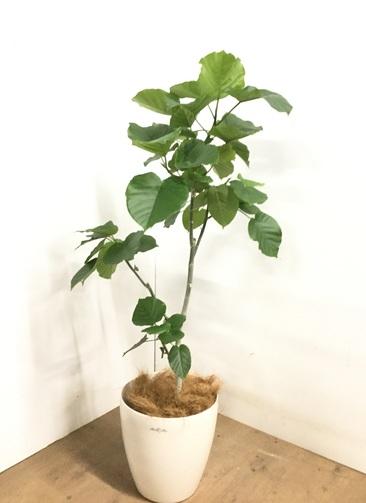 観葉植物 【125cm】 フィカス ウンベラータ 8号 #23252