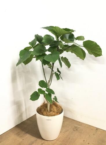 観葉植物 【115cm】 フィカス ウンベラータ 8号 #23254