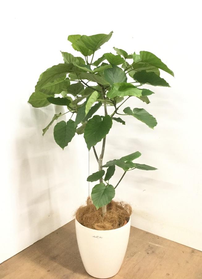 観葉植物 【120cm】 フィカス ウンベラータ 8号 #23257